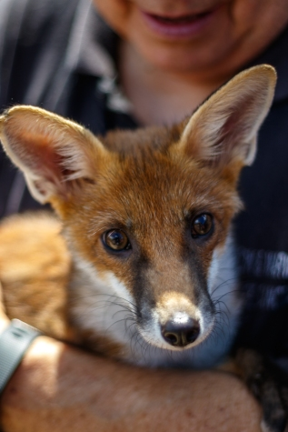 Scooby, the fox cub