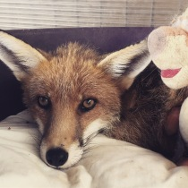 Meeting rescued foxes