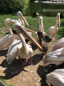 Some hungry pelicans waiting for their breakfast