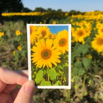 Sunflowers at Becketts Farm